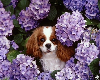 dog and hydrangea