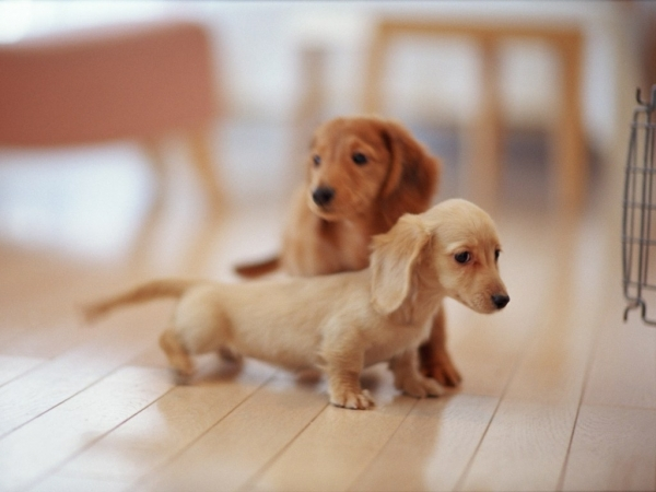 miniature-dog-breeds-pfy4tsk0