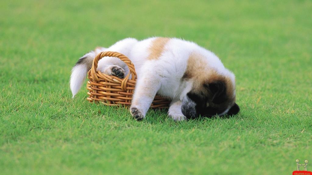 sleeping-puppy-in-bucket-hd-wallpaper