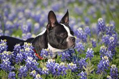 dog and hyacinth