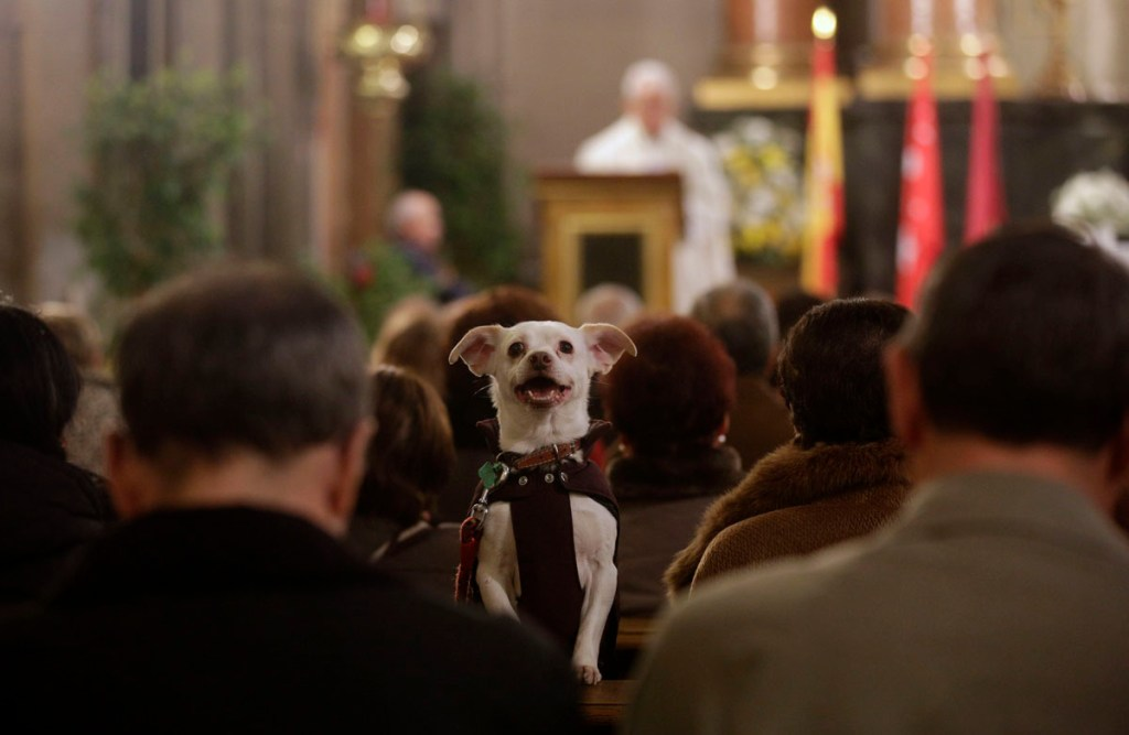 A dog takes part in a mass at San Anton Church in Madrid January 17, 2014. Hundreds of pet owners bring their animals to be blessed every year on the day of San Anton, Spain's patron saint of animals. REUTERS/Andrea Comas (SPAIN - Tags: ANIMALS SOCIETY RELIGION) ORG XMIT: ACO06