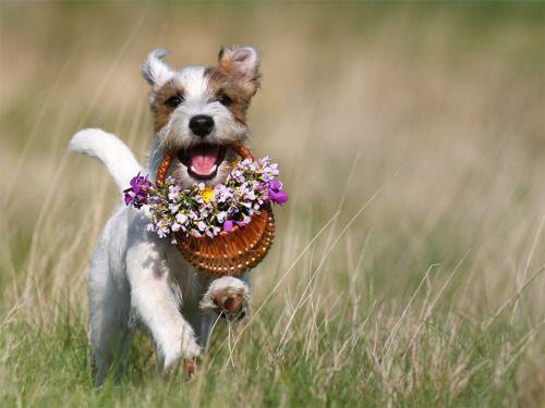 dogwithflowers