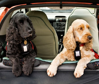 dogs-in-car-thinkstock-96450960-335sm102213