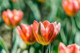 tulip (1 of 6)
