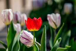 tulip (4 of 6)