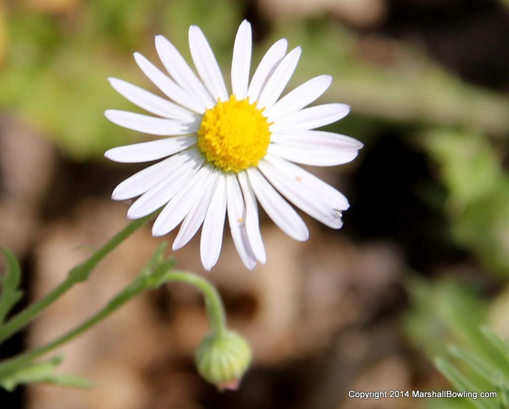Wildflowers Lazy Daisy Arkansas Dozedaisy