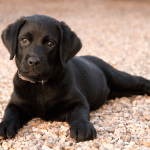 Buying A Labrador Puppy Price And Everything You Need To Know Marshalls Pet Zone