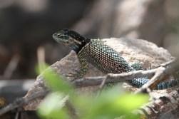 Arizona Lizard - Copy