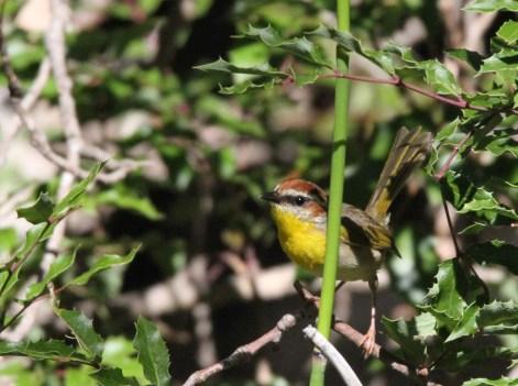 Rufous capped warbler, Ramsey Canyon, Sierra Vista, AZ