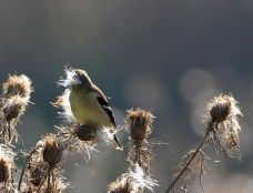 Goldfinch with a mouthful