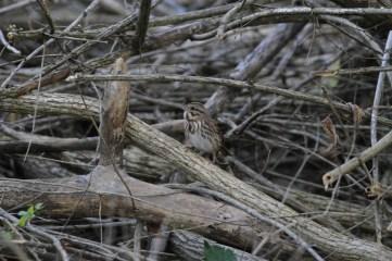 camo-sparrow