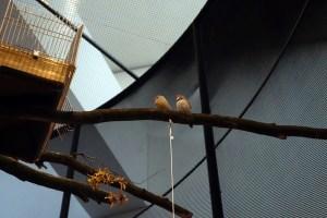 Zwei Zebrafinken auf einem Ast in der Voliere