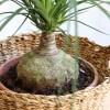 Bocarnia marta majo flors