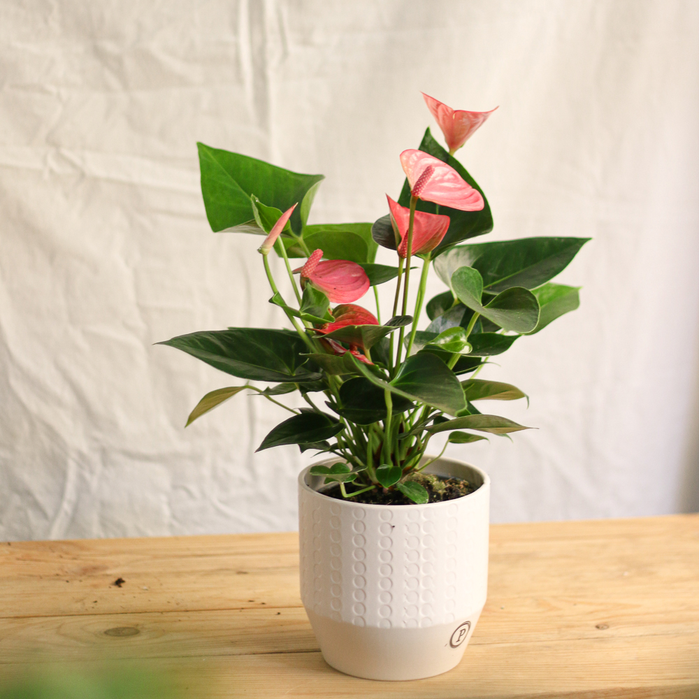 Comprar Anthurium MartaMajo flors