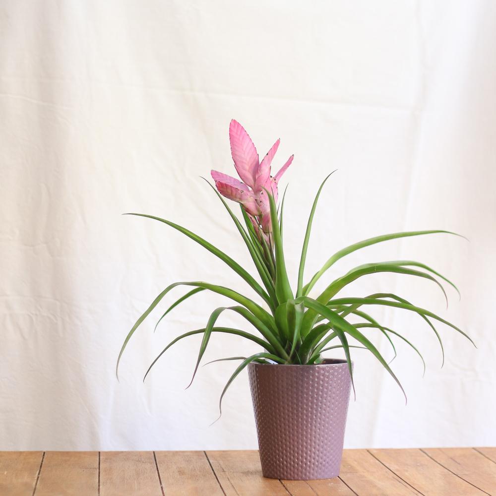 Bromelia Antonio planta de interior en martamajo flors