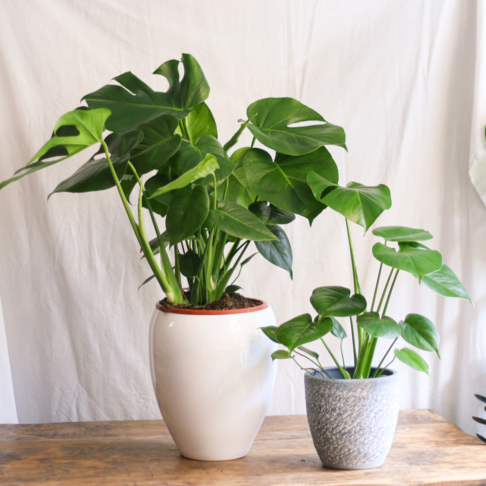 Monstera Purificadora planta de interior y exterior