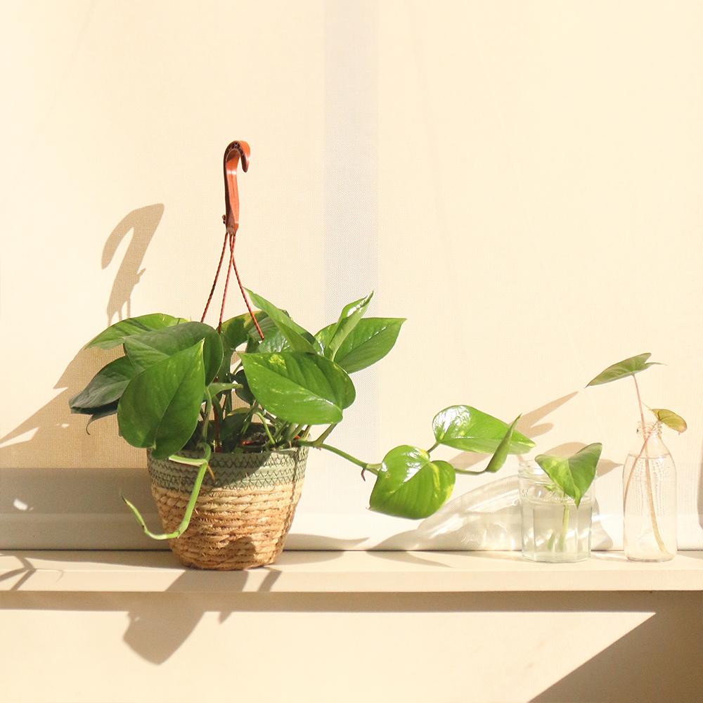 pothos planta natrual interior floristeria martamajo flors sant feliu de llobregat barcelona