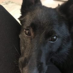 Turlough, My Schipperke Puppy