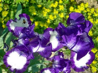 Picture of purple and white fleur de lis