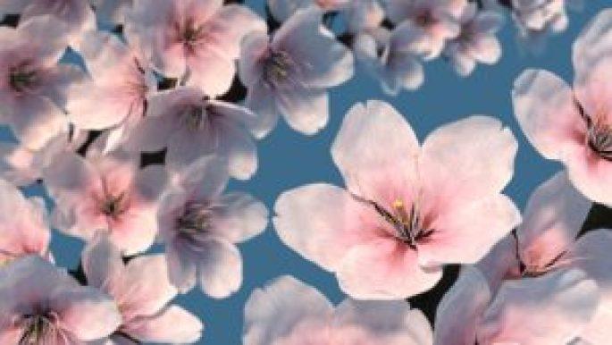 news - blender - 3D - cherry blossom