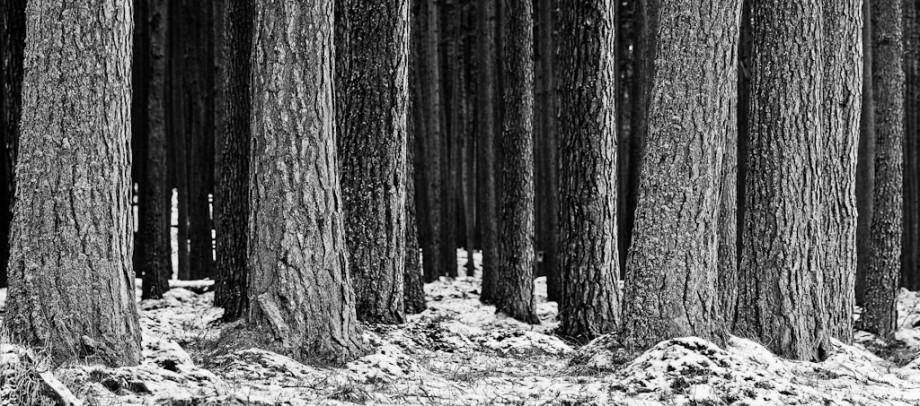 Black & White Woodland