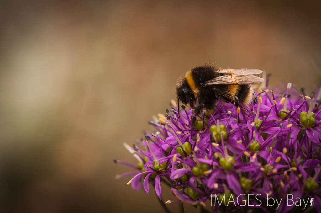 Image of Bumble Bee