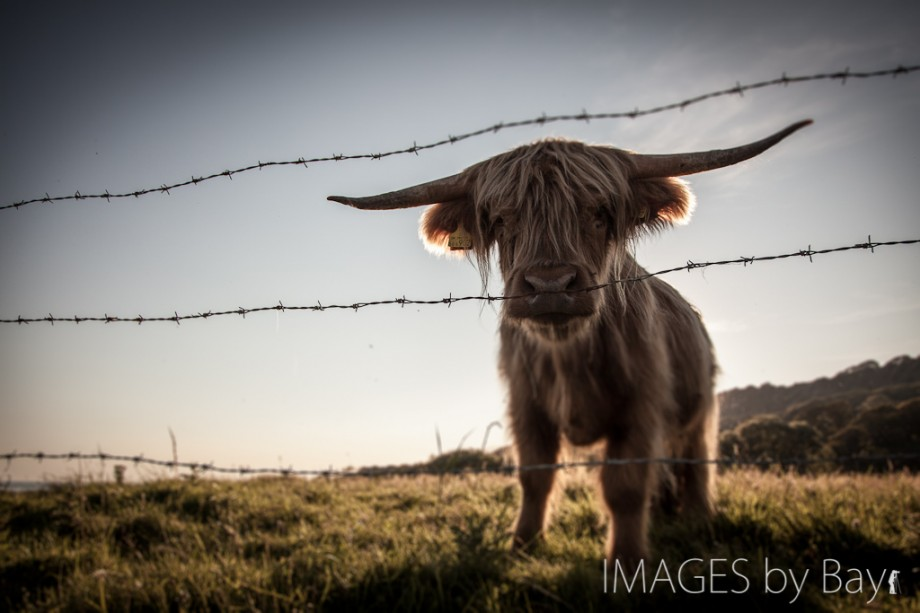 Image of Highland Cow