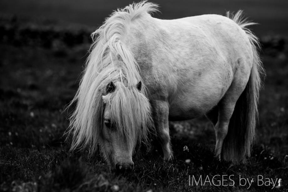 White Shetland Pony Image