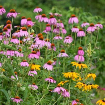 purple-coneflower-black-eyed-susan-collection.jpg