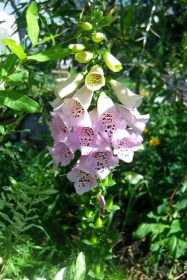 Foxglove in the Sculpture Garden, Woody Creek, Colorado