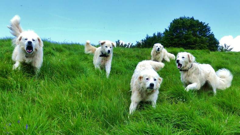 Vicious Sheepdog Attack, Lunigiana and Surrounding Mountains, Tuscany, Italy
