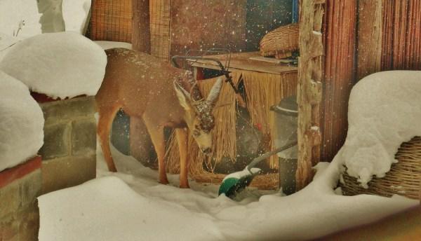 Deer Family Passing Through the Sculpture Garden, Sunday December 28, 2014, 3:04 to 3:17 PM