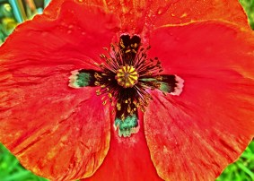 Crimson Poppy