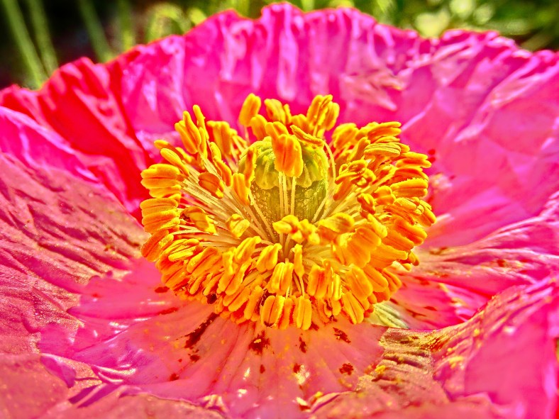 Orange Fountain Poppy