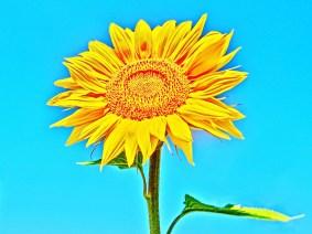 Sunny Sunflower, Woody Creek, Colorado