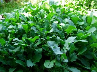 Beautiful Leafy Greens / Kitchen Garden @ martincooney.com