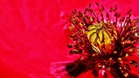 Regal Poppy