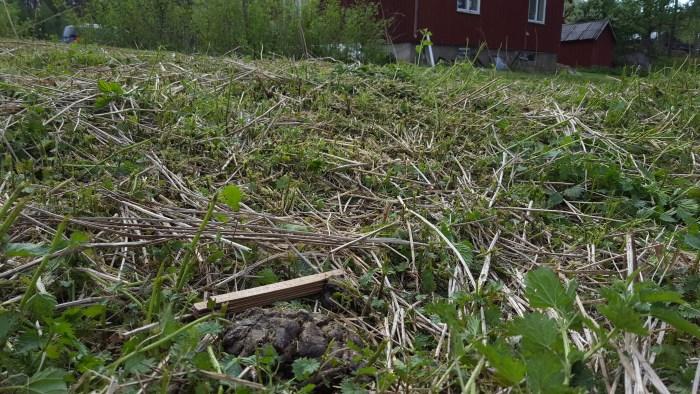 Björnspillning jag fann när jag klippte brännässlor i kanten av gräsmattan.