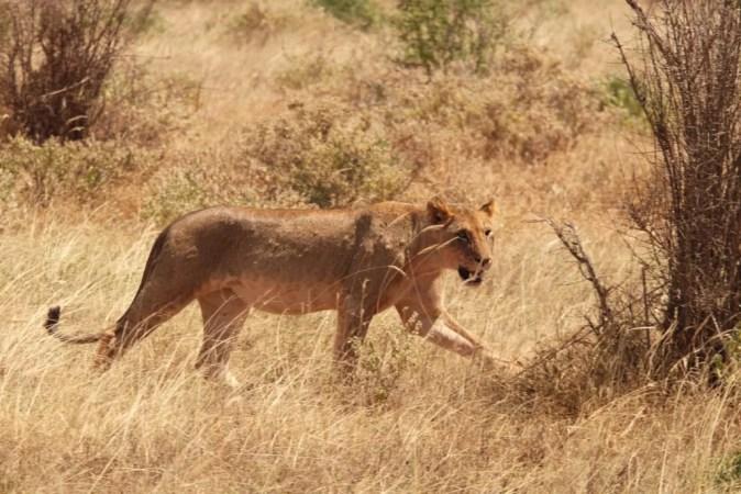 leonessa tsavo est