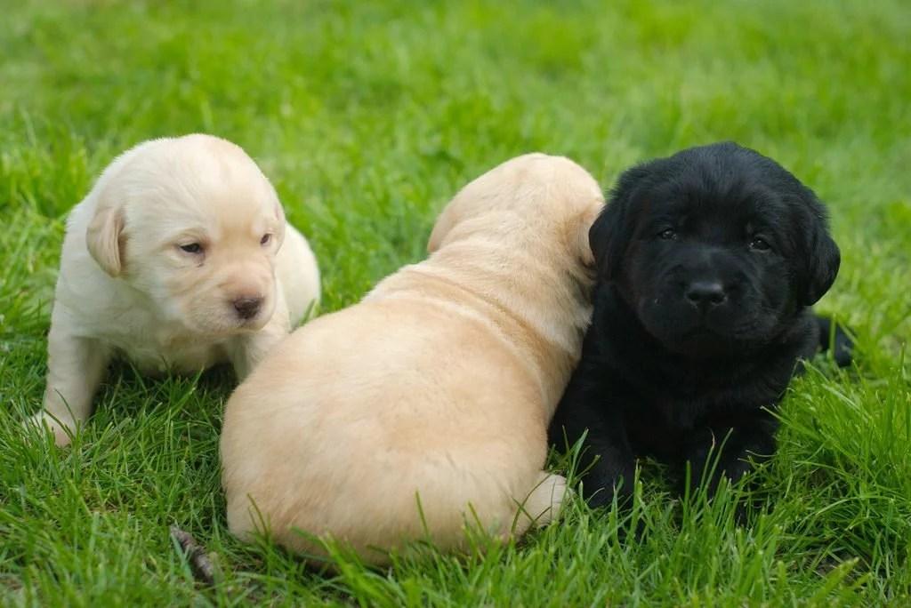 cuccioli labrador giallo nero