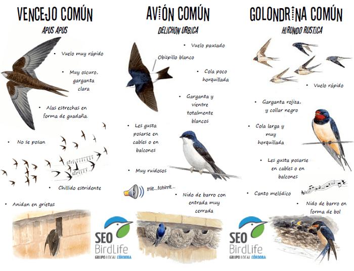Aprende a distinguir golondrinas, vencejos y aviones (tres aves insectívoras urbanas).