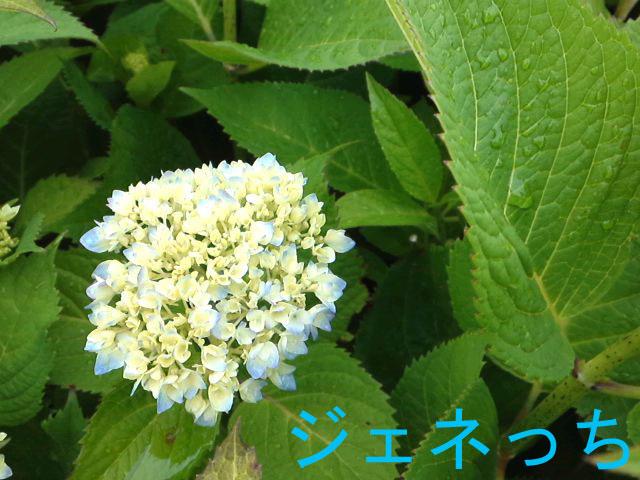 2013.5.20あじさい