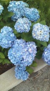 あじさいが咲いていました