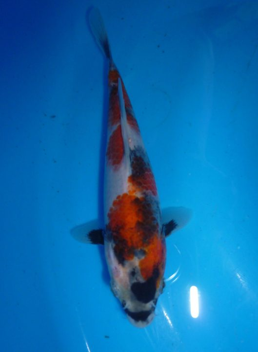 Marugen Showa Tategoi [Sold] Offspring of Night Trilium (Female Oyagoi: Momotaro Mako Showa) Product of Marugen Fish Farm, Singapore