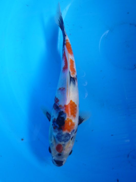 Marugen showa - koi for sale in Singapore