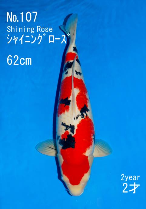Sakai Fish Farm Nisai Sanke  Most expensive auction koi 2013 Offspring of Shining Rose Sakai Fish Farm