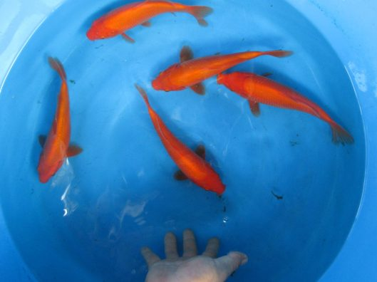 "High Quality Benigoi Koi Fish For Sale In Singapore Offspring of ""Red Phoenix"" Female Oyagoi ""Red Phoenix"" is a Kohaku bred by Sakai Fish Farm Products of Marugen Koi Farm, Singapore"