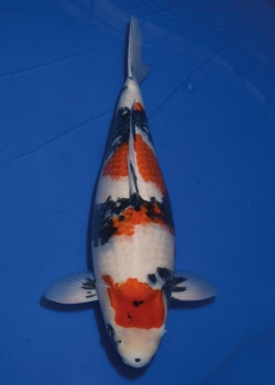 No. 72 Female Showa 59cm Momotaro Koi Farm Auction
