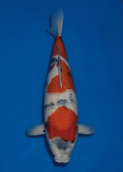 No. 84 Female Showa 51cm Momotaro Koi Farm Auction