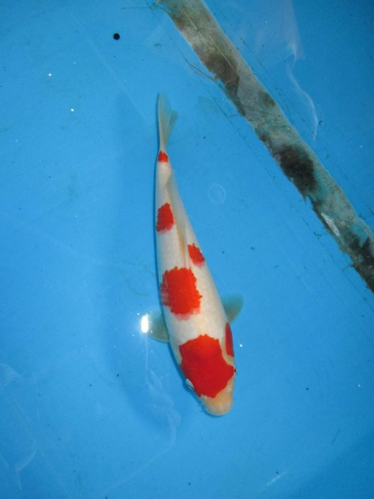 Marugen Koi Farm - Kohaku Koi For Sale In Singapore (39)